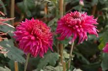 Chrysanthemum Show 6