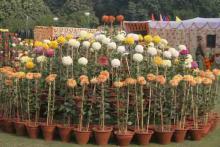 Chrysanthemum Show 7